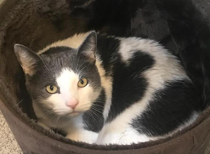 Cuddles Domestic Short Hair Adult - Adoption, Rescue for Sale in Old ...
