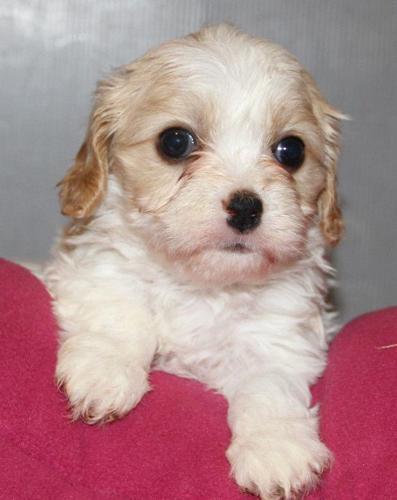 CUDDLY CAVACHON PUPPIES -- Bichon x Cavalier for sale in Lima, Ohio