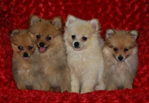 Cuddly Pomeranian Babies For Sale In Cleburne Texas Classified