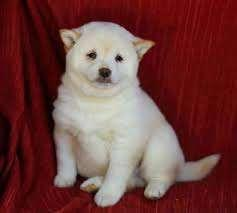 cuddly shiba inu puppies in stock