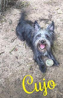 Cujo Cairn Terrier Young Male