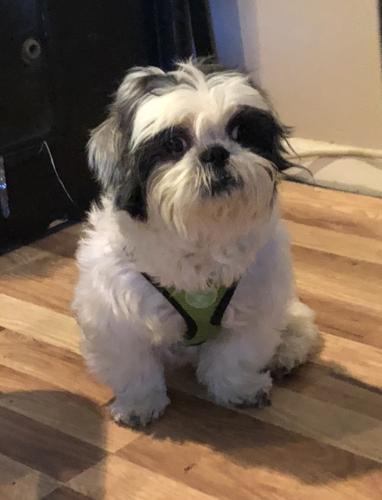 Cuppy Shih Tzu Adult Adoption Rescue For Sale In East Windsor