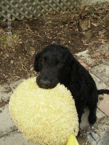 Curly Coated Retrievers for sale in Addison, New York