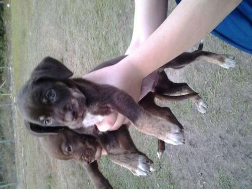 curr/pitt puppies for adoption