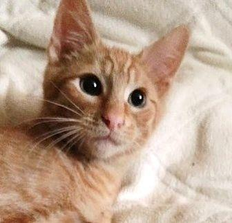 Curry Domestic Shorthair Kitten Male