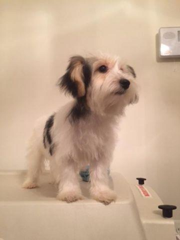 Yorkichon Pets And Animals For Sale In The Usa Puppy And Kitten