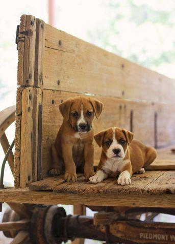 Cute AKC Boxer Puppy- 7 weeks old