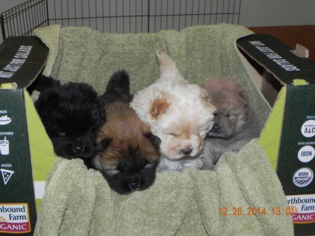 Cute AKC Chow Chow Puppies