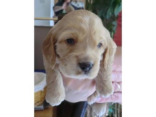 Cute Akc Cocker Spaniel Puppies For Sale In Jacksonville North