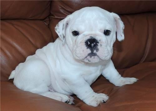 CUTE AKC ENGLISH BULLDOG FEMALE WHITE PUPPY for Sale in ...