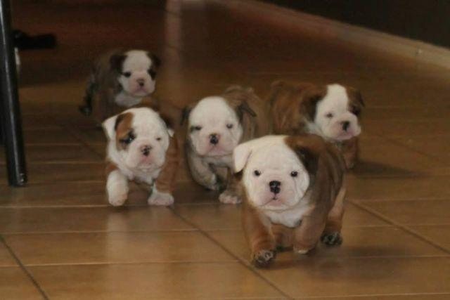 Cute Akc English Bulldog Puppies 7 Weeks Old For Sale In Princeton