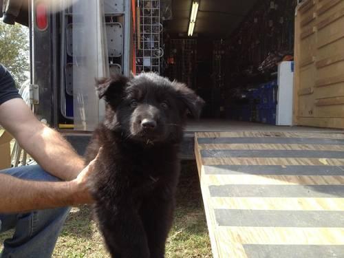 German Shepherd Puppies 8 Weeks