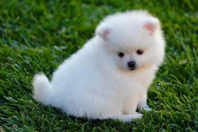 Cute Akc Ice White Pomeranian Puppies For Sale In Santa Clara