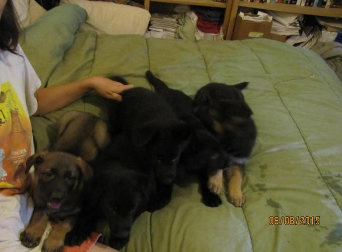Cute AKC litter registered, German Shepherds pups for Sale