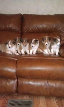 Cute AKC Shelties Puppies - 7 weeks old