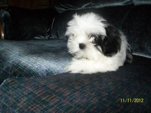 shih tzu breeders in tennessee cute akc shih tzu puppy for adoption 11 weeks old for 9408