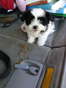 Cute Akc Shih Tzu Puppy For Adoption 8 Weeks Old For Sale In San