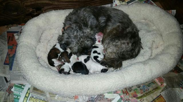 Cute Akc shihtzu puppies