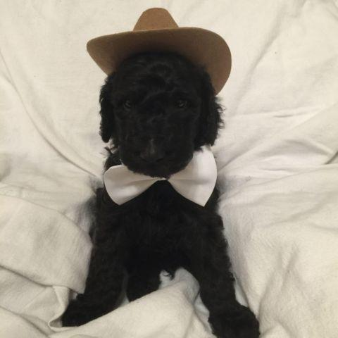 Cute AKC Standard Poodle Puppy for Adoption at 8 weeks