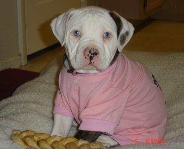 Cute American Bulldog Puppies For New Home