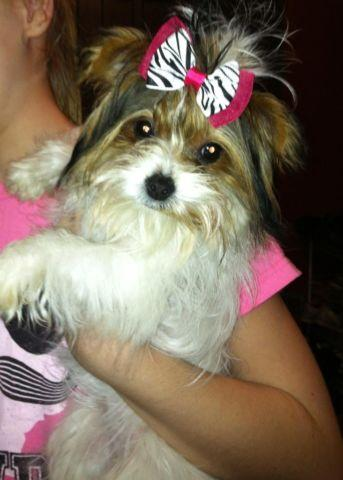 Cute and Adorable AKC 6 month female Parti Yorkie