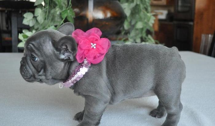 baby french bulldog for sale cute and adorable baby french bulldog puppies for sale 761