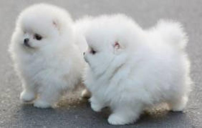 Cute And Adorable Pomeranian Puppies Available Text 701 660 2572