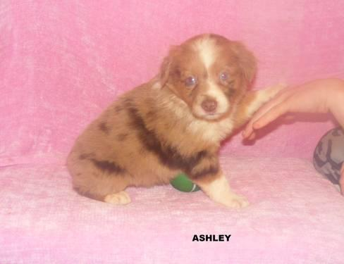 Cute And Cuddly Aussie Puppies Only One Left For Sale In Broadway