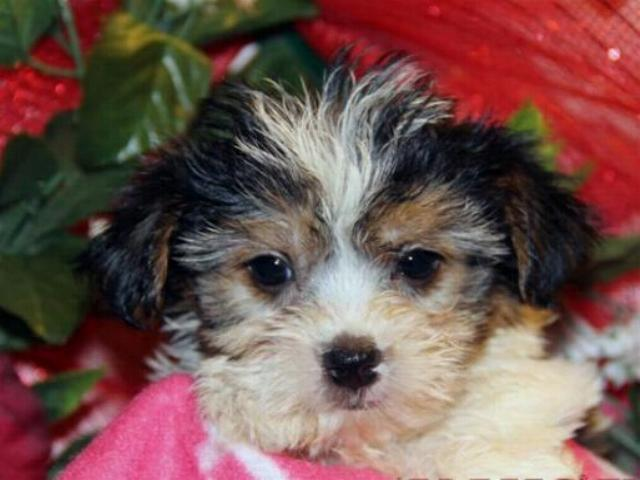 Cute and cuddly Yorkiepoo and Morkie puppies ready for new families