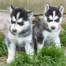 Cute and Lovely Siberian Husky Pupies for Sale