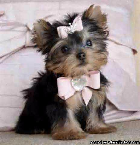 Cute and lovely Teacup yorkie puppies available