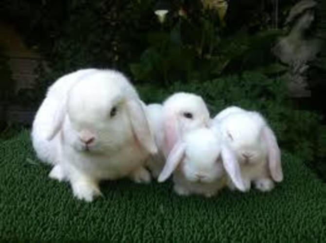 Cute And Ready To Go!!! White Blue Eyes Miniature Holland Lops Bunnies!!  Limited!! Come Check Them Out!!
