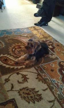 Cute and Tiny AKC Yorkshire Terrier Female puppy- 1