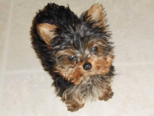 Cute Apr Yorkshire Terrier Puppy 3 Months Old For Sale In