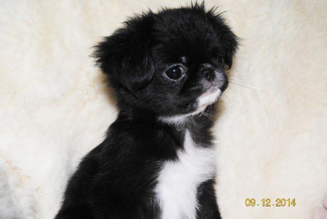 Shih Tzu For Sale In Osakis Minnesota Classifieds Buy And Sell