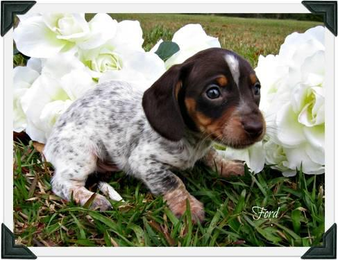 Cute As Can Be Chocolate And Tan Piebald Dachshund Puppy For Sale In
