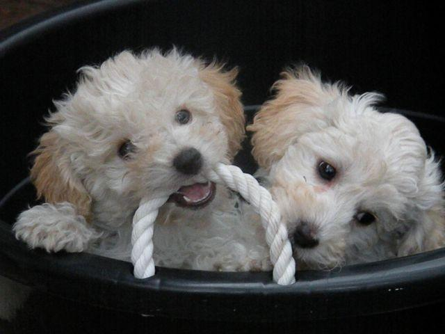 Cute Bichon Poo Puppies