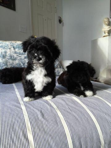 Cute Black Bichon Friseyorkie Mixed Puppies For Sale In San Leandro