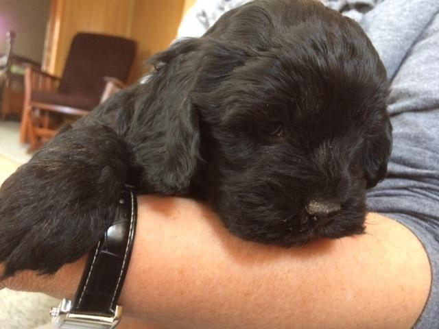 Cute Black Cockapoo Puppies For Adoption 8 Weks Old For Sale In
