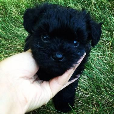 Cute Black Morkiepoo Small Breed Non Shedding Dog For In Dundee Illinois