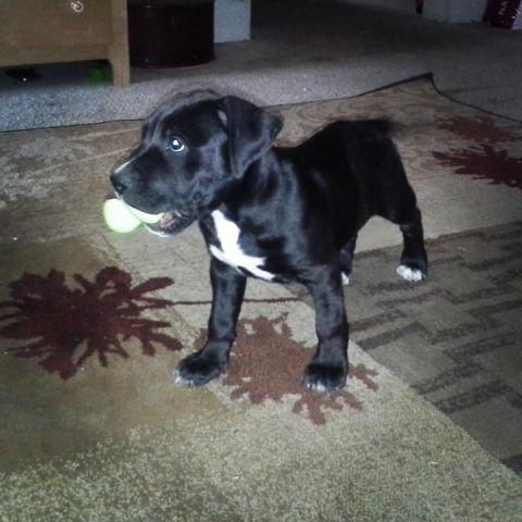 Blue Pit Bull Female Pets And Animals For Sale In Fresno California