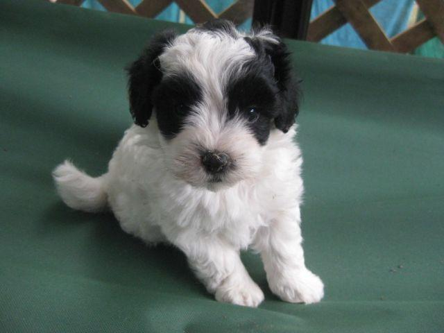 Dark Red Maltipoo Puppies For Sale In Texas Classifieds Buy And