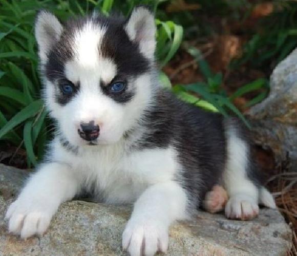 Cute Baby Siberian Husky With Blue Eyes