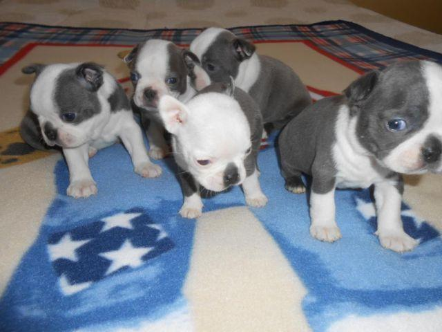 Boston Terrier Pug Puppy For Sale In North Carolina Classifieds