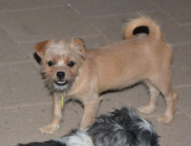 CUTE BRUSSELS GRIFFON MIX PUPPY for adoption for Sale in ... Adopt A Brussels Griffon Puppy