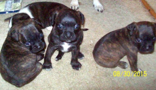 cute bugg puppies pug boston terrier for sale in algona