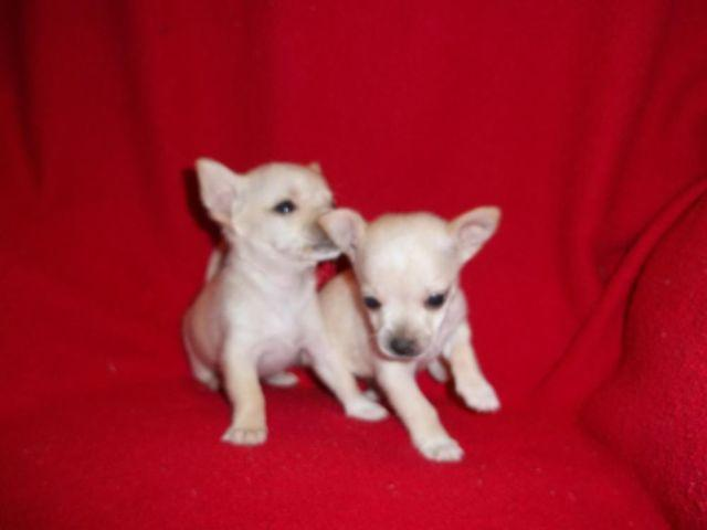 Teacup Chihuahua Puppies For Sale In Virginia Classifieds Buy And