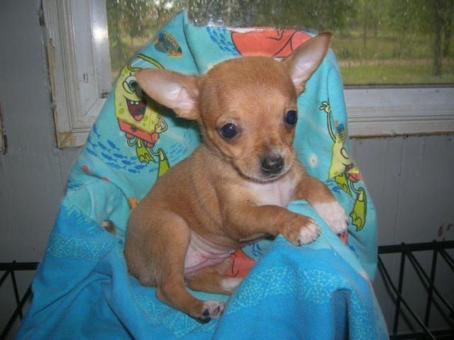 chiuaua puppies for sale in michigan