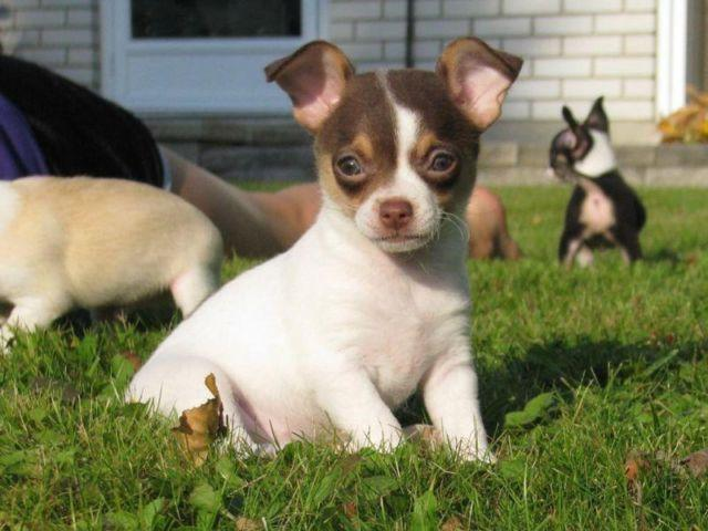 Pics For > Chocolate And White Chihuahua