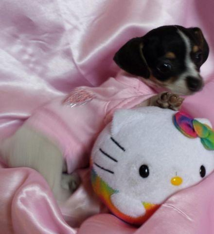 Cute Chiweenie 9 Week Old Puppies For Adoption For Sale In